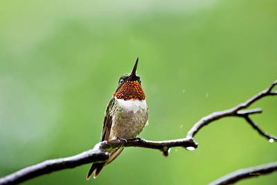 Photograph - Ruby Throated Hummingbird In The Rain by Christina Rollo