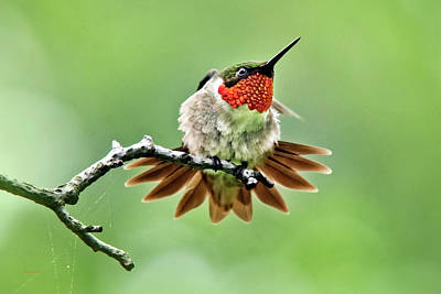 Photograph - Ruby Throated Hummingbird Velocity by Christina Rollo
