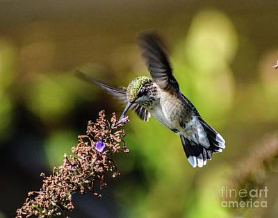 Pediatricians Office Rights Managed Images - Ruby-throated Hummingbirds Final Bow Royalty-Free Image by Cindy Treger