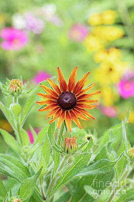 Photograph - Rudbeckia Cappuccino Flower by Tim Gainey