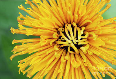 Photograph - Rudbeckia Chim Chiminee by Tim Gainey