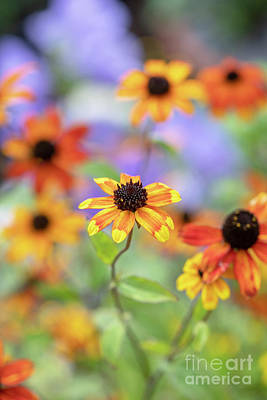 Photograph - Rudbeckia Triloba Prairie Glow Flowers by Tim Gainey