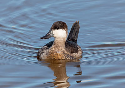 Photograph - Ruddy Duck In Winter by Loree Johnson