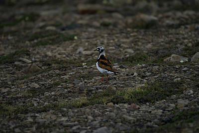 Photograph - Ruddy Turnstone Bird On Svalbard by Kai Mueller