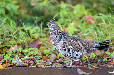 Photograph - Ruffed Grouse by Mircea Costina Photography