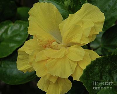 Photograph - Ruffled Yellow Hibiscus by Patricia Strand