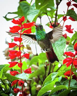 Photograph - Rufous-tailed Hummingbird La Huerta Hotel Lago Calima Valle Del  by Adam Rainoff