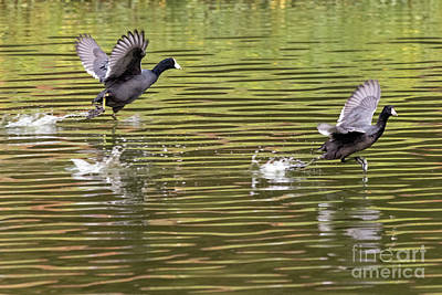 Photograph - Run Coot Run by Kate Brown
