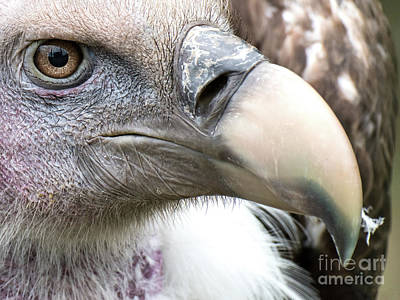 Photograph - Ruppells Griffon Vulture by Eyeshine Photography