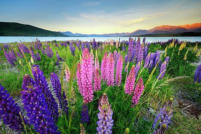 Photograph - Russle Lupines At Lake Tekapo by Atomiczen