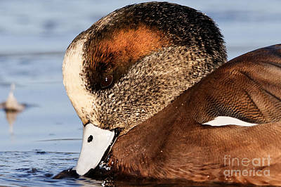 Photograph - Rusty Wigeon by Sue Harper