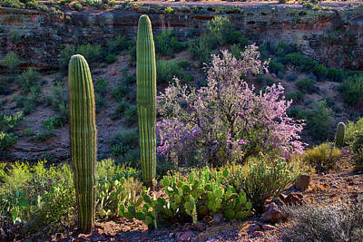 Photograph - Saguaro And Blooming Ironwood Arizona Landscape by Dave Dilli