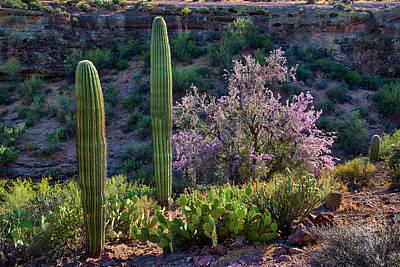 Photograph - Saguaro And Blooming Ironwood Arizona Landscape by Dave Dilli
