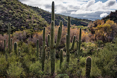 Photograph - Saguaro Cactus At Sabino Canyon Arizona by Dave Dilli