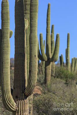 Photograph - Saguaro Cactus In The Arizona Desert by Edward Fielding
