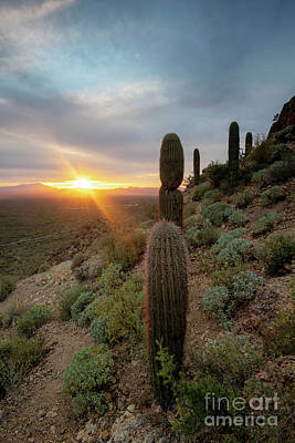 Photograph - Saguaro Sunburst by Mike Dawson