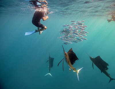 Sailfish And Snorkeler Standoff Art Print by By Wildestanimal