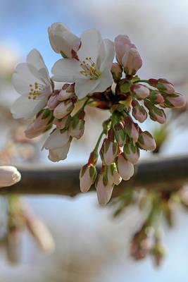 Albert Bierstadt - Sakura Buds by Mary Anne Delgado