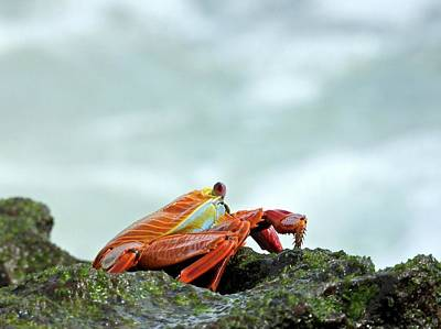 Animals Royalty-Free and Rights-Managed Images - Sally Lightfoot Crab by Jennifer Wheatley Wolf