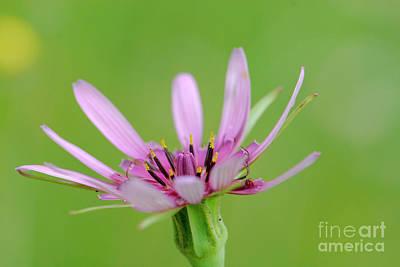Salsify Wall Art - Photograph - Salsify Flowers Tragopogon Porrifolius F1 by Dan Yeger