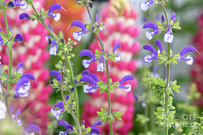 Photograph - Salvia Pratensis Madeline Flowers  by Tim Gainey
