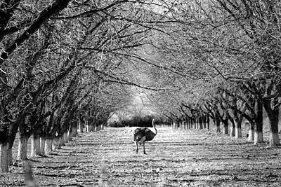 Photograph - San Lorenzo Ostrich by Jeff Brunton