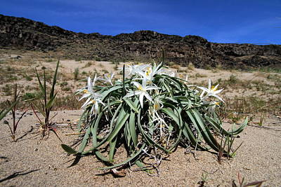 Photograph - Star Lilys Its Springtime In The Rockys by Ed  Riche
