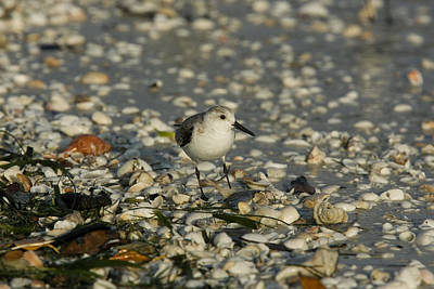 Photograph - Sanderling by David Hosking