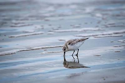 Photograph - Sanderling Foraging by Jeff Phillippi