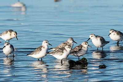 Photograph - Sanderlings by Robert Potts