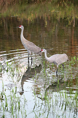 Photograph - Sandhill Couple Wading by Carol Groenen