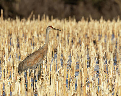 Photograph - Sandhill Crane 2019-1 by Thomas Young