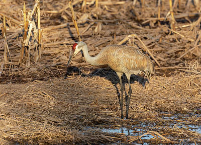 Photograph - Sandhill Crane 2019-3 by Thomas Young