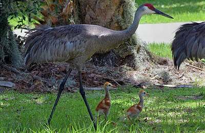 Photograph - Sandhill Crane With Colts by Larah McElroy