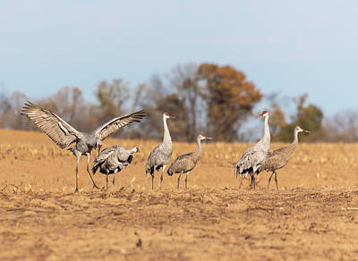 Photograph - Sandhill Cranes 2018-4 by Thomas Young
