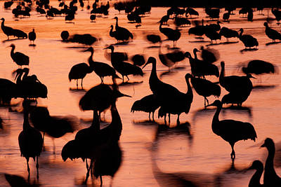 Photograph - Sandhill Cranes, Grus Canadensis by Mint Images/ Art Wolfe