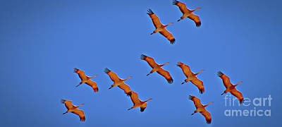 Photograph - Sandhill Cranes In Flight by Randy J Heath