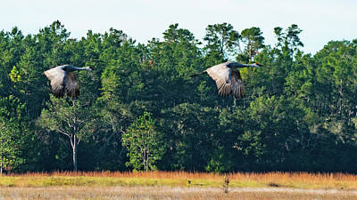 Photograph - Sandhill Cranes Take Flight Ocala National Forest Florida by Lawrence S Richardson Jr