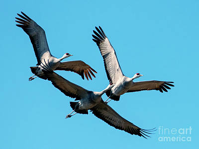 Royalty-Free and Rights-Managed Images - Sandhill Trio by Mike Dawson