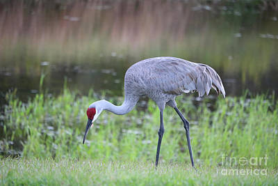 Photograph - Sandhill With Pond Background by Carol Groenen