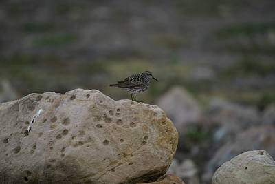 Photograph - Sandpiper Arctic Bird by Kai Mueller