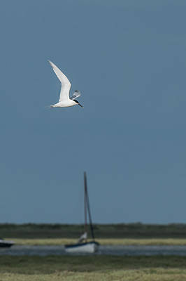 Photograph - Sandwich Tern by Wendy Cooper