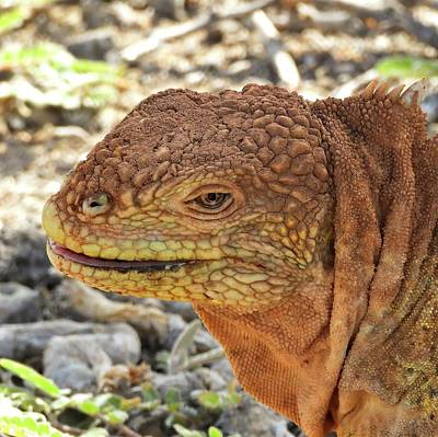 Animals Royalty-Free and Rights-Managed Images - Santa Cruz Land Iguana by Jennifer Wheatley Wolf