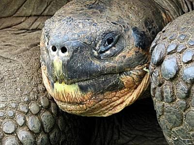 Animals Royalty-Free and Rights-Managed Images - Santa Cruz Rancho El Manzanillo Giant Tortoise by Jennifer Wheatley Wolf