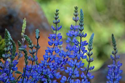 Photograph - Santa Rosa Plateau Lupine Wildflowers by Kyle Hanson
