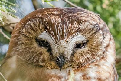 Wall Art - Photograph - Saw-whet Owl Close Up by Morris Finkelstein