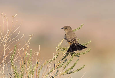 Photograph - Say's Phoebe Tail Fan by Loree Johnson