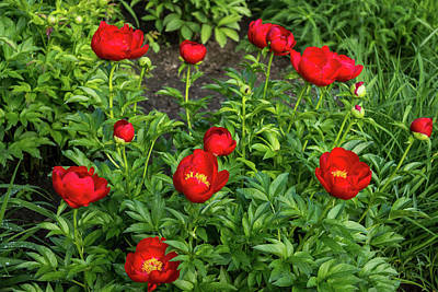 Photograph - Scarlet Peony Garden by Georgia Mizuleva