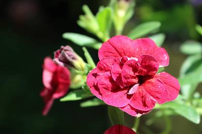 Photograph - Scarlet Geranium In Cape May by Christopher Lotito