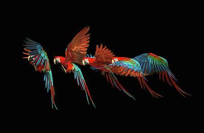 Photograph - Scarlet Macaw Parrot In Flight by Tim Platt